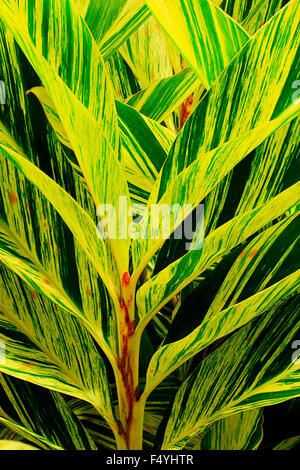 elongated yellow and green striped leaves of shell ginger - Stock Photo