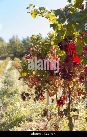 Vineyards near Lourmarin in October, Vaucluse, France - Stock Photo