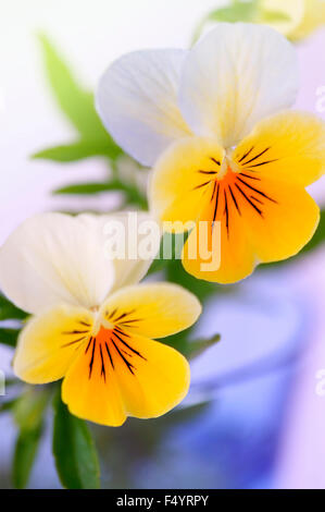 Viola (violet) tricolour 'Heartsease' . Close-up of flowers in blue glass. - Stock Photo