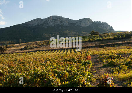Wine growing in autumn near Maury, Pyrenees-Orientales, France - Stock Photo