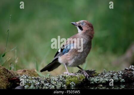 Eurasian Jay, Garrulus glandarius, juvenile - Stock Photo