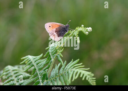 Small Heath, Coenonympha pamphilus, on bracken - Stock Photo
