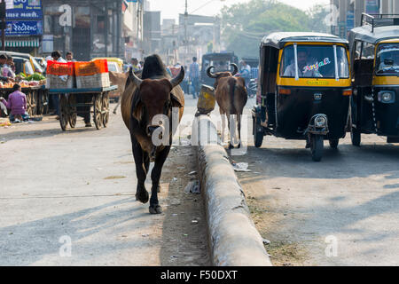 A cow is walking along a busy street, a motor rikshaw is driving next to it - Stock Photo