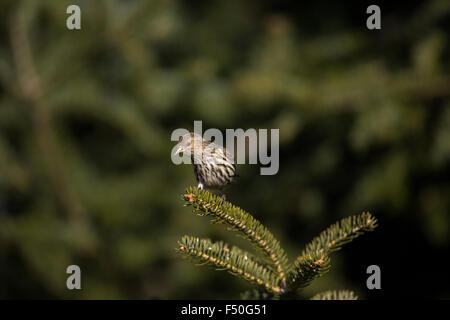 Pine siskin - Stock Photo