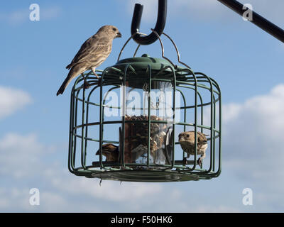 Finches eating from a bird feeder - Stock Photo