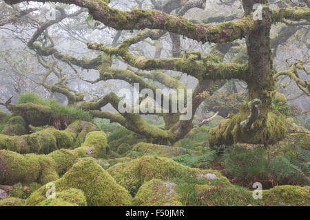 Gnarled ancient oak trees in Wistman's Wood in Dartmoor National Park on a foggy morning, - Stock Photo