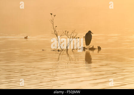 Grey heron (Ardea cinerea) on a perch in the middle of a lake with a coot (Fulica atra) swimming past - Stock Photo