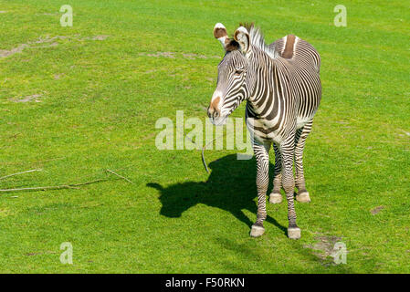 A Grevy's Zebra (Equus grevyi), standing on a meadow - Stock Photo