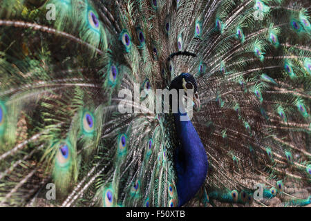 Jakarta, Indonesia. 25th Oct, 2015. A blue peafowl (Pavo cristatus) spreads his feathers to attract female peacocks - Stock Photo