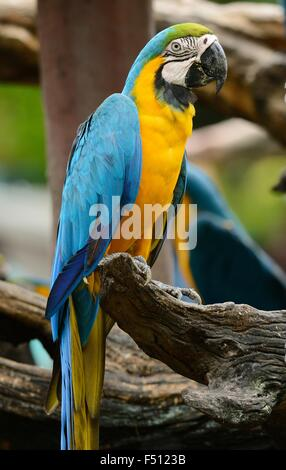 beautiful Blue-and-yellow Macaw (Ara ararauna), also known as the Blue-and-gold Macaw - Stock Photo