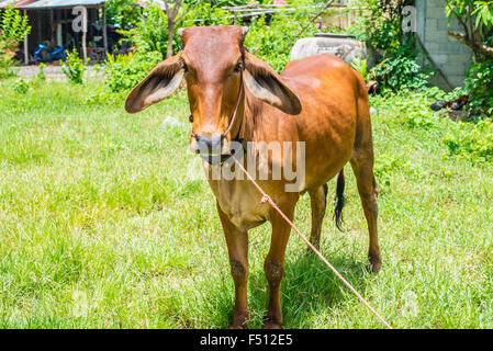 Cow eating grass in rural areas.