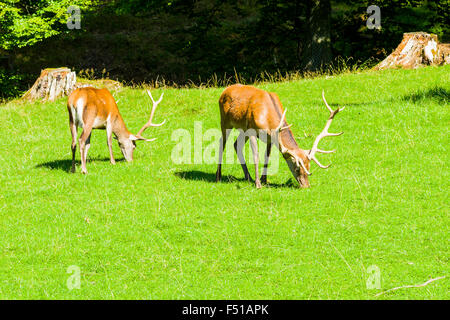 Two male fallow deer are grazing on a green meadow - Stock Photo