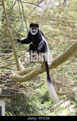 Black and white Colobus monkey sitting in Acacia tree Elsamere Kenya - Stock Photo