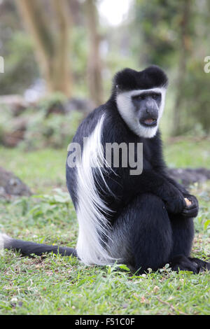 Black and white Colobus monkey sitting on lawn Colobus guereza occidentalis Elsamere Kenya - Stock Photo
