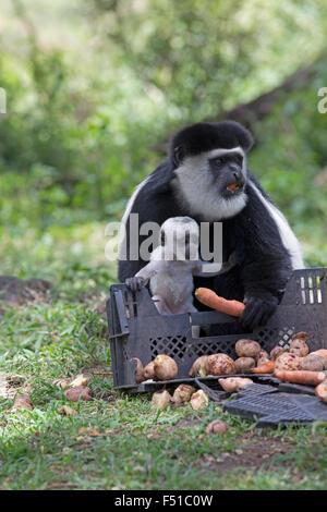 Black and white Colobus monkey Colobus guereza occidentalis Elsamere Kenya - Stock Photo