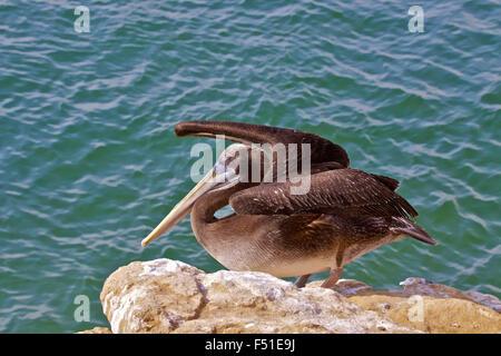 Peruvian Pelican (Pelecanus thagus) Paracas, Islas Ballestas, Peru. - Stock Photo
