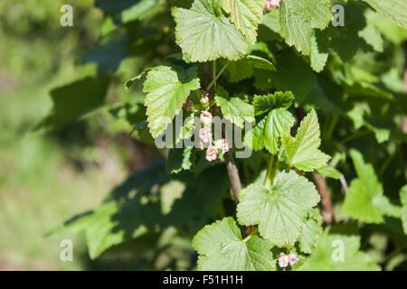 Black currant, ribes nigrum flowers, in the garden - Stock Photo
