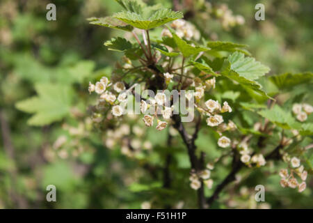 A redcurrant plant full of red currant flowers, in the garden - Stock Photo