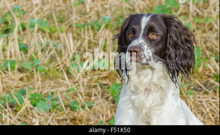 A young English Springer Spaniel dog sat in a field - portrait - Stock Photo
