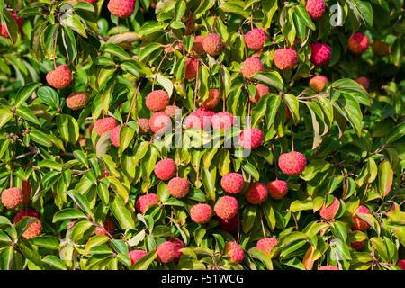 Autumn fruit of the flowering dogwood, Cornus 'Norman Hadden' - Stock Photo