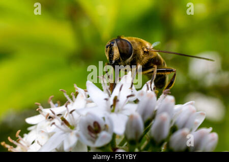 Close Up Detail of a Bee Hover-Fly (Volucella bombylans) Feeding on nectar from a White Umbellifer Flower. - Stock Photo