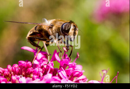 Close Up Detail of a Bee Hover-Fly (Volucella bombylans) Actively Feeding on nectar from a Red Valerian Flower. - Stock Photo