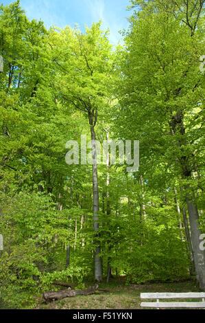 Buchenwald, Wald, Fruehjahr - Stock Photo