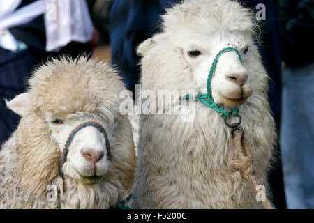 Llamas on sale at Otavalo market, Ecuador, South America - Stock Photo