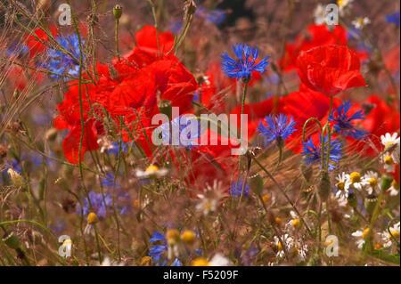 Sommerblumenwiese, Stock Photo