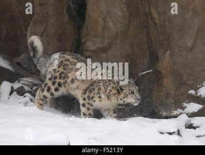 Schneeleopard, Irbis, Panthera uncia, captive, sich anschleichend, - Stock Photo