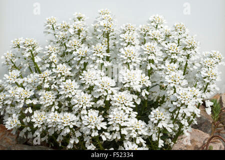 Schleifenblume, Iberis, sempervierens, - Stock Photo