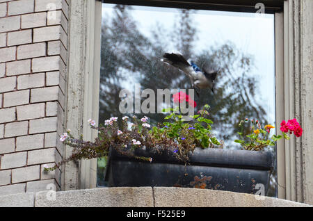 blue jay bird  window box brooklyn new york with flowers - Stock Photo