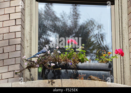 blue jay bird sparrow window box brooklyn new york with flowers - Stock Photo