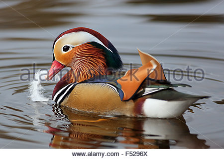 A male Mandarin duck with a Gull feather on a Scottish Loch. - Stock Photo