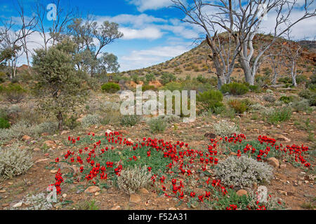 Landscape in outback Australia with carpet of spectacular red flowers of Sturt's desert pea, Swainsona formosa & - Stock Photo