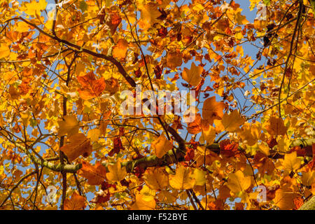Tulip Tree, Liriodendron tulipifera, Magnoliaceae in Autumn colors, Voorschoten, South Holland, The Netherlands. - Stock Photo