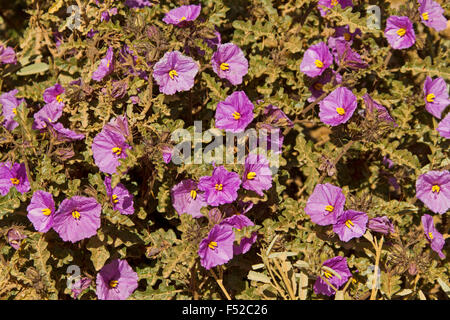 Mass of purple flowers and green foliage of Solanum petrophillum, rock nightshade, Australian wildflowers in outback - Stock Photo