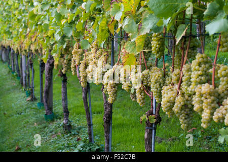 Grapes on the vine in a vineyard northern Switzerland. - Stock Photo