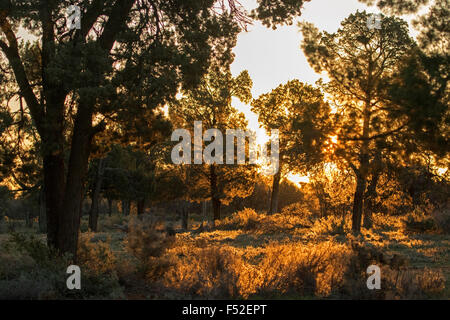 Golden light of dawn illuminating trees and grasses in native forest at Mungo National Park outback NSW Australia