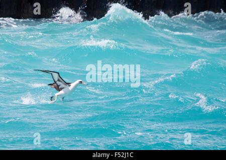 Laysan Albatross (Phoebastria immutabilis) taking off from ocean surface - Stock Photo