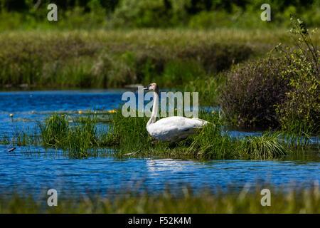 Trumpeter swan - Stock Photo