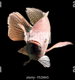 High Quality Shot Of A Large Tilapia Fish About Five Pounds - Stock Photo