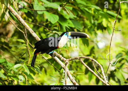 Large Toucan Bird Shot In The Wild In Amazon Basin - Stock Photo