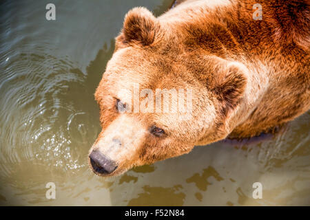 Large Brown Bear Swimming In A Hot Summer Day - Stock Photo
