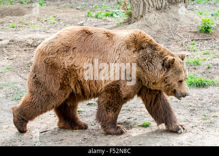 The Brown Bear Is A Large Bear Distributed Across Much Of Northern Eurasia And North America It Weighs 70 To 780 - Stock Photo