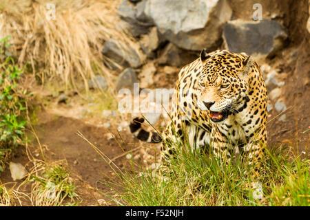 Large Male Jaguar Shoot In The Wild Ecuadorian Amazonia - Stock Photo