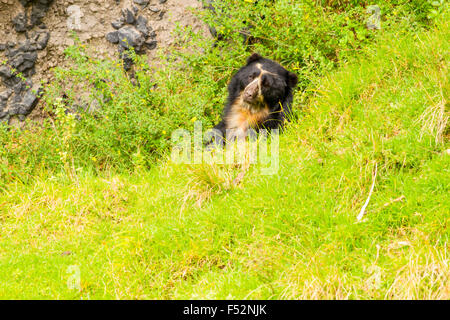 Large Male Andean Bear Shoot In The Wild In Ecuadorian Andes Mountain - Stock Photo