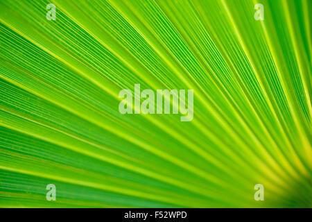 Leaf detail of a saw palmetto, Serenoa repens - Stock Photo