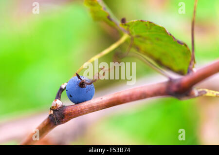 Merlot grape with tendril lays on a vine - Stock Photo