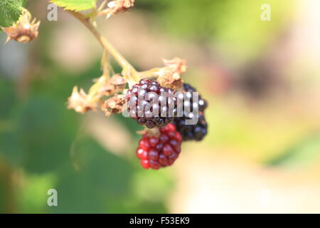 Blackberry (Rubus fruticosus) in Japan - Stock Photo